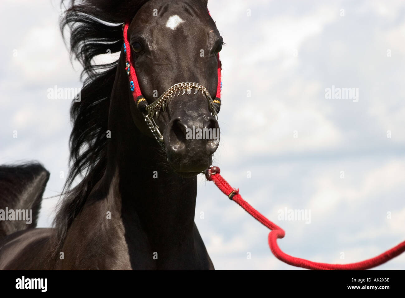Black Arabian Horse At The Egyptian Event Europe In Iffezheim Near Stock Photo Alamy