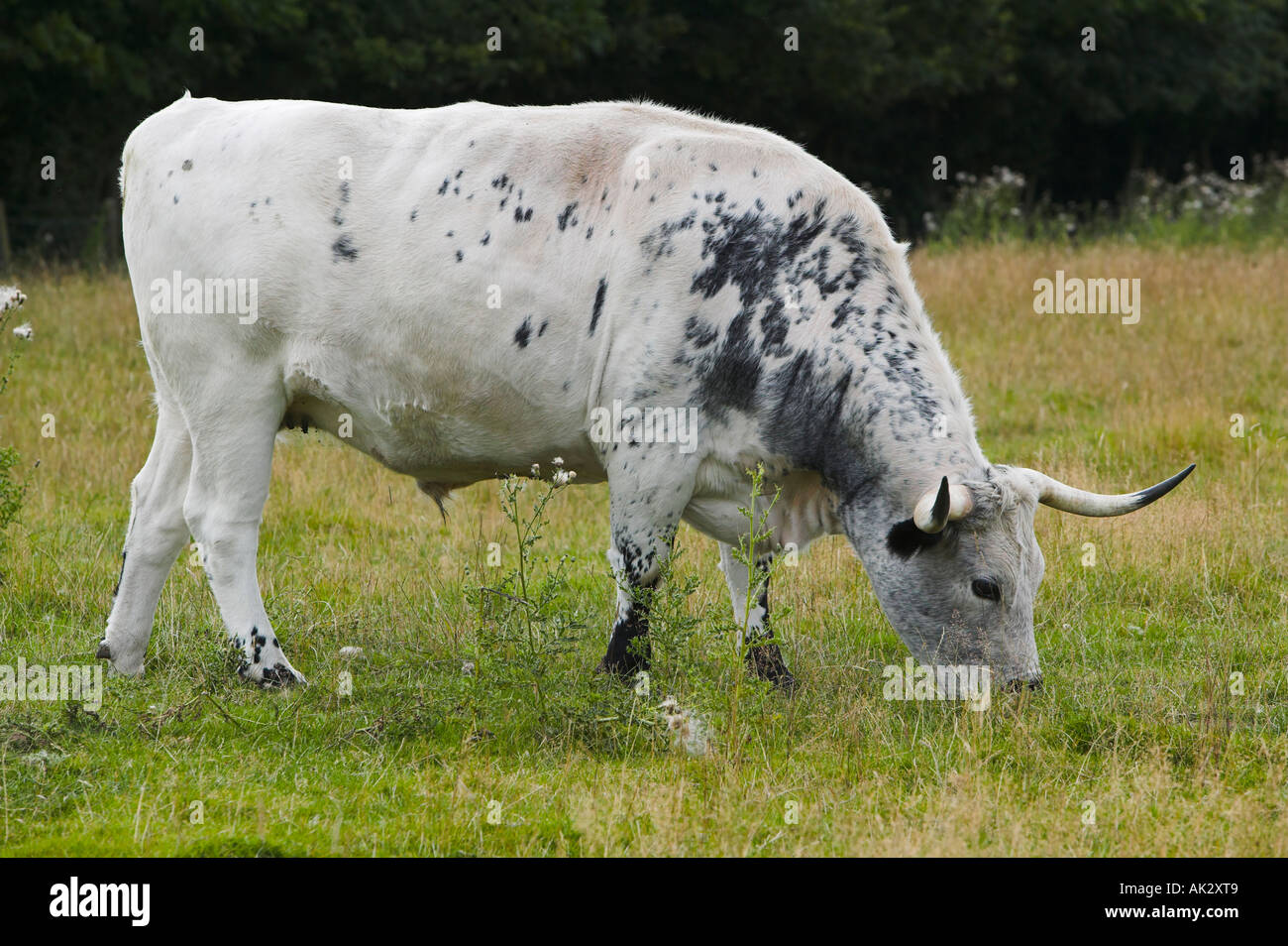 White Park Cattle at Chatelherault Country Park near Hamilton, South Lanarkshire, Scotland - Stock Image