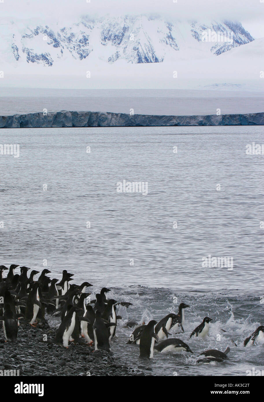 Adelie penguins entering water at Brown Bluff, Antartica - Stock Image