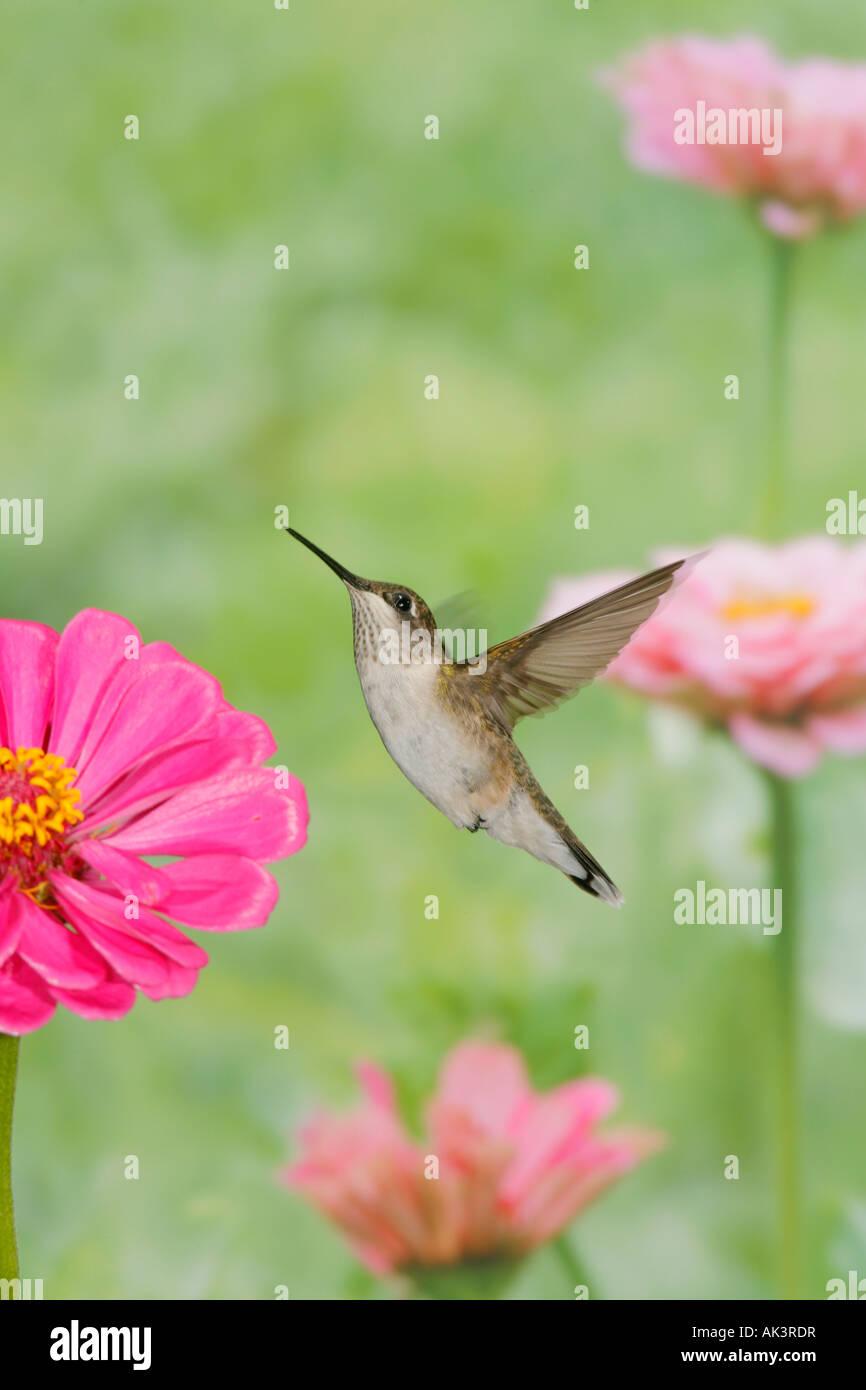 Female Ruby throated Hummingbird Vertical - Stock Image