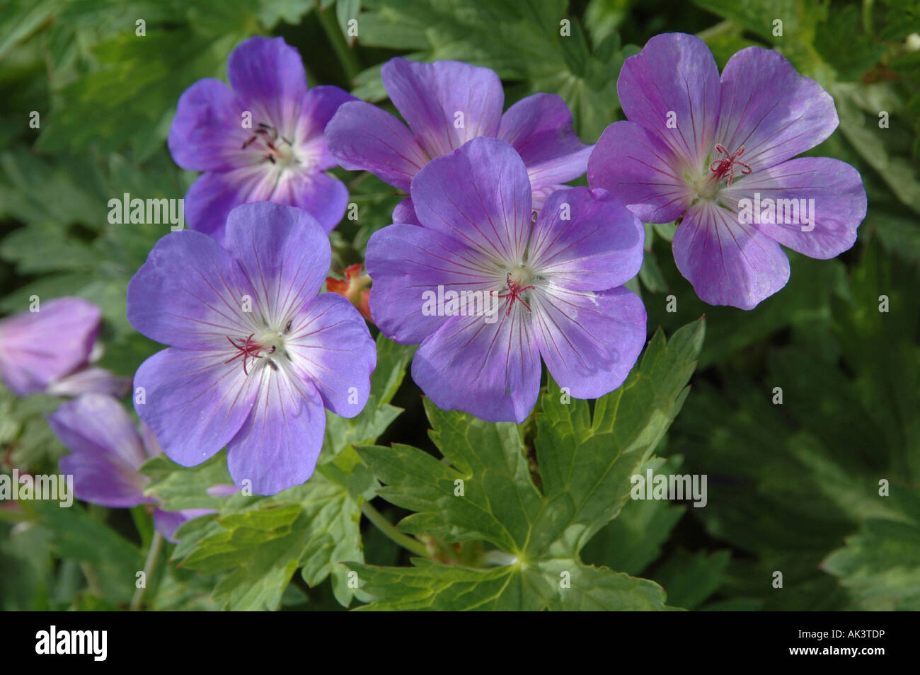 Hardy perennial geranium rozanne gerwat with light blue flowers a hardy perennial geranium rozanne gerwat with light blue flowers a great ground cover plant image taken june 2007 izmirmasajfo