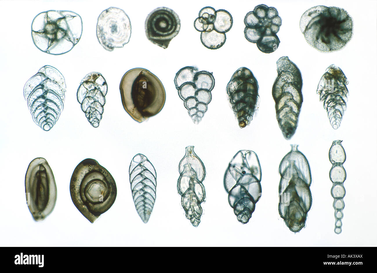 Foraminifera at 50x Single Celled protist - Stock Image