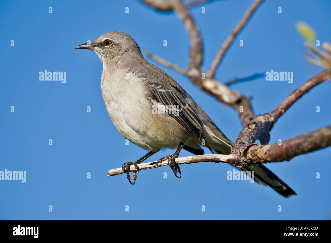 mockingbird Stock Photo