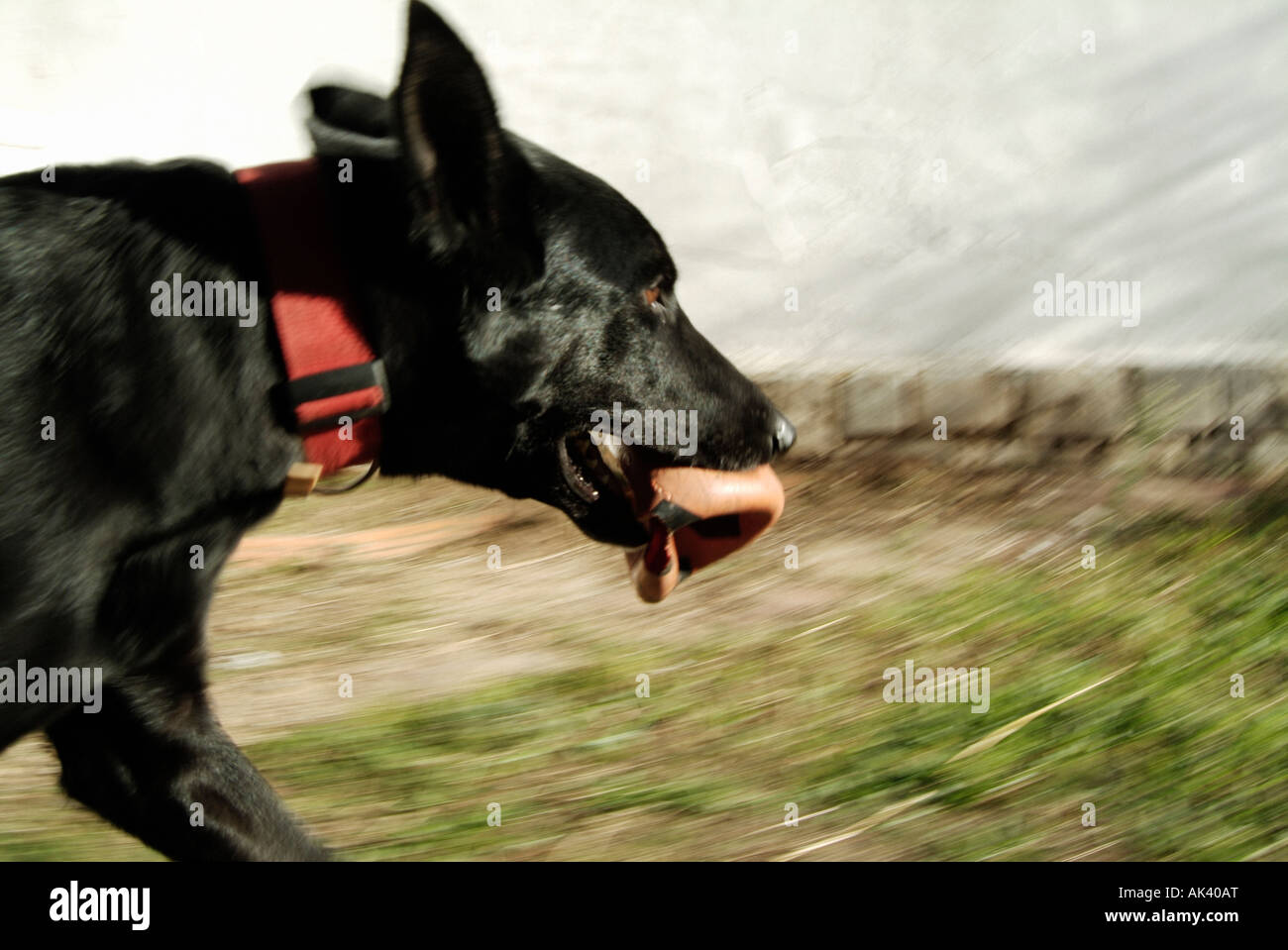 Dog running with a ball in its mouth - Stock Image