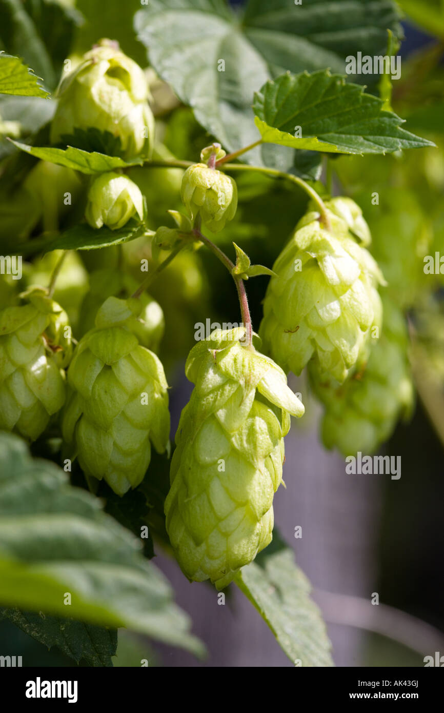 Hop plant at the homegarden - Stock Image
