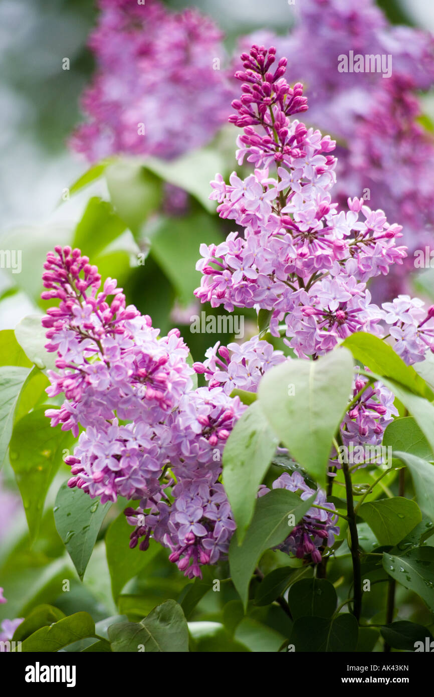 Flowering lilac in the city park Novosibirsk may 2007 - Stock Image