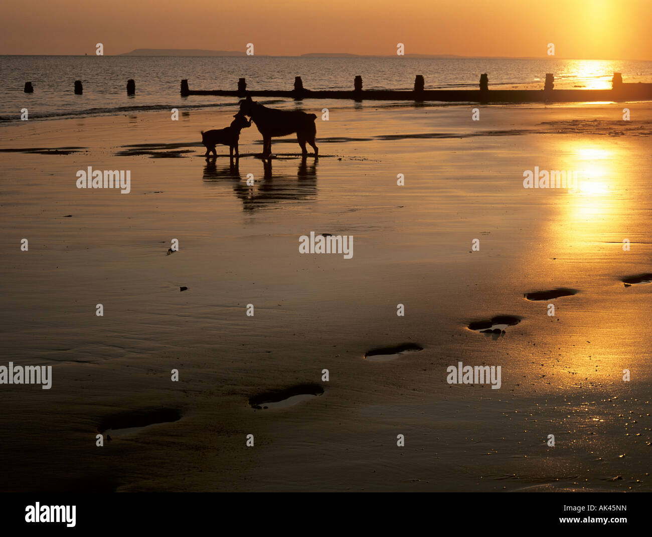 TWO DOGS on a BEACH at SUNSET silhouetted against a low sun reflecting off wet sand with footprints in foreground. - Stock Image
