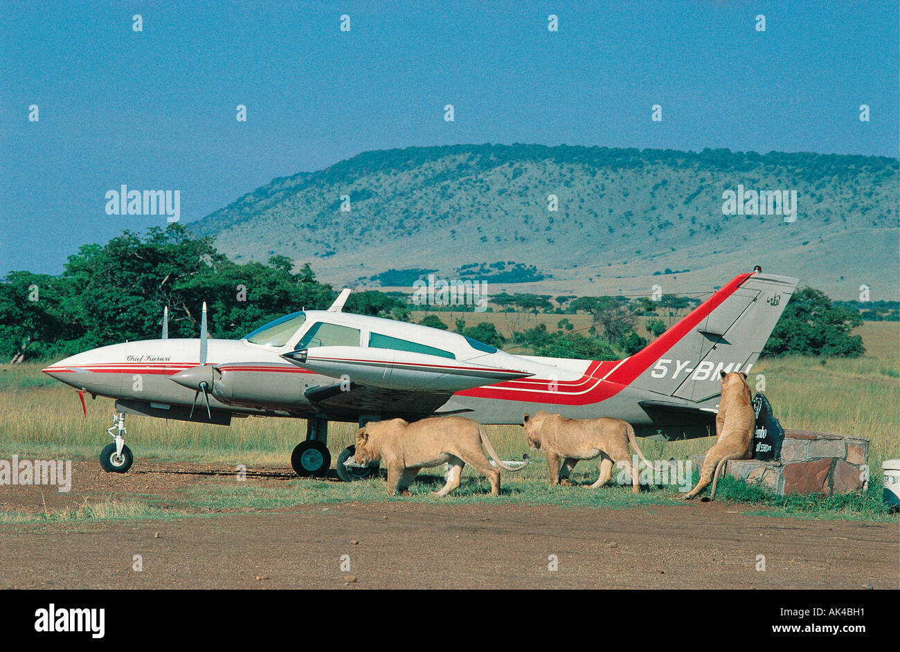 Three lions close to a two engined light aircraft on bush airstrip in the Masai Mara National Reserve Kenya East Africa - Stock Image