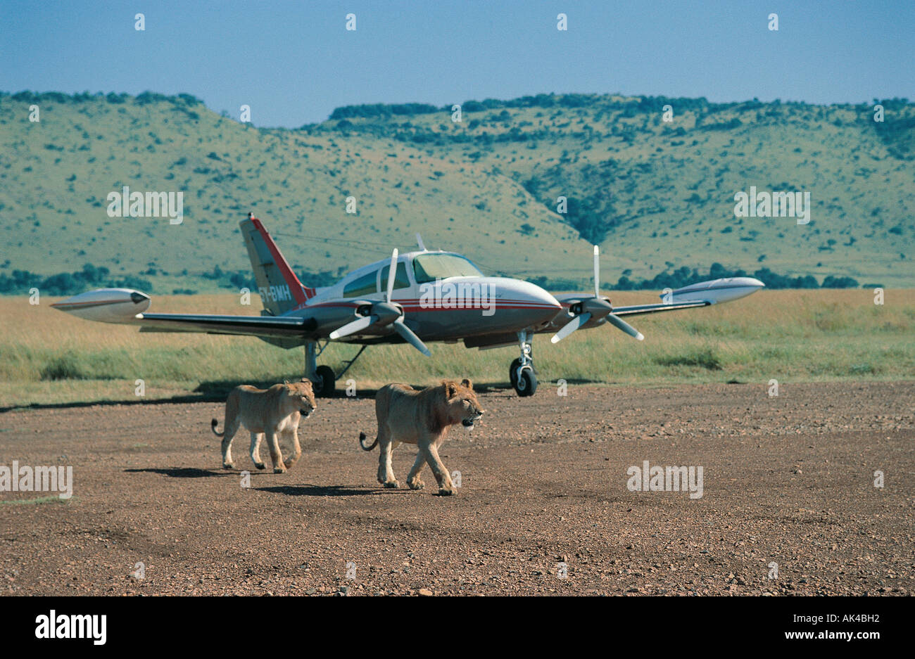 Two lions close to a two engined light aircraft on bush airstrip in the Masai Mara National Reserve Kenya East Africa - Stock Image