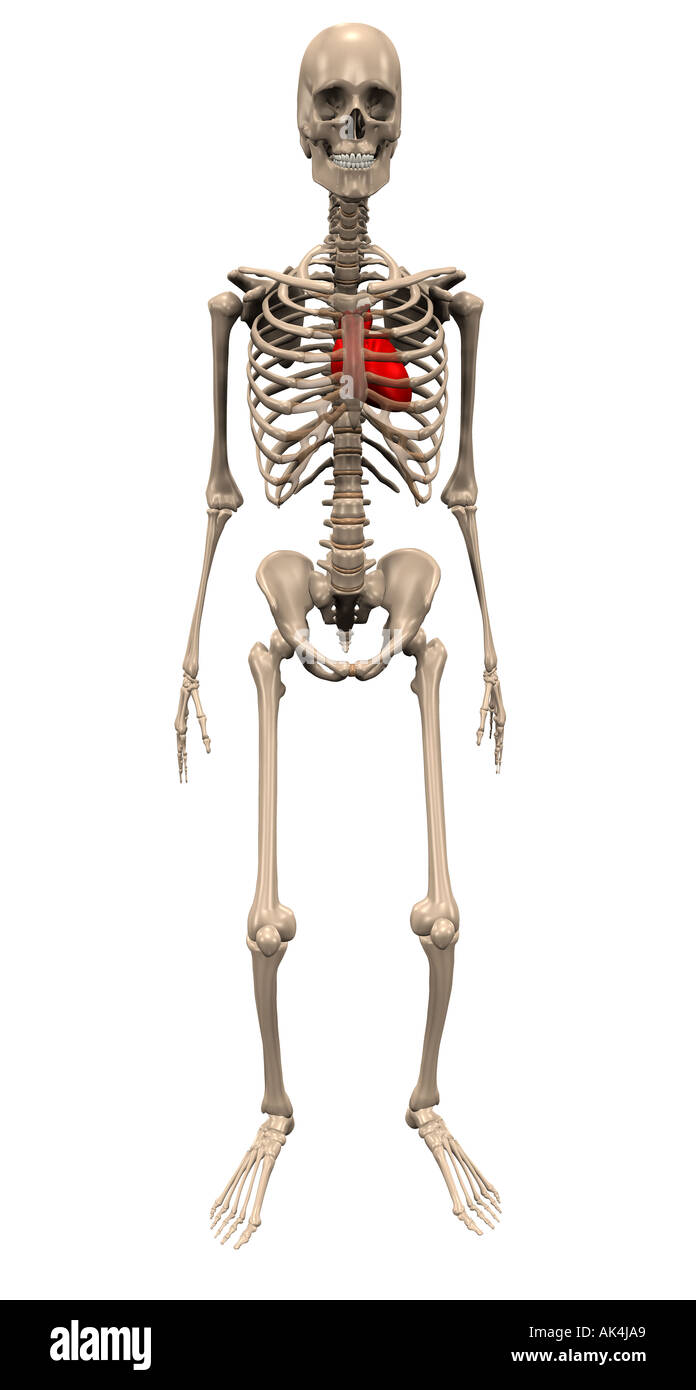 Skelett D Stock Photos & Skelett D Stock Images - Alamy