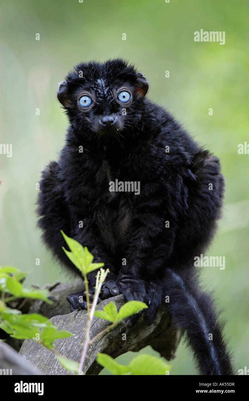 Blue-eyed Lemur - Stock Image