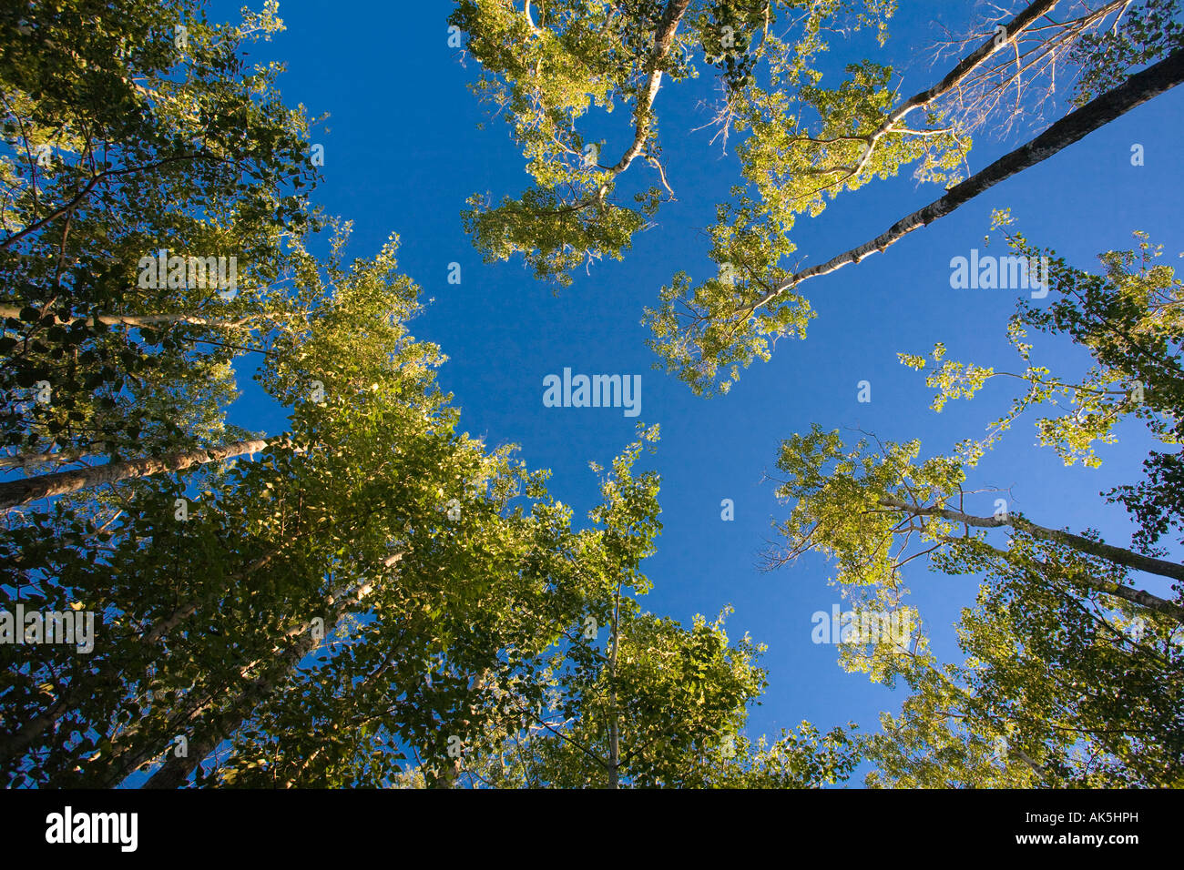 Low angle shot of tall trees - Stock Image
