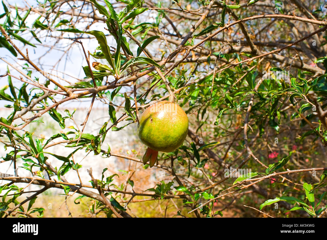 Pomegranate Punica Granatum - Stock Image