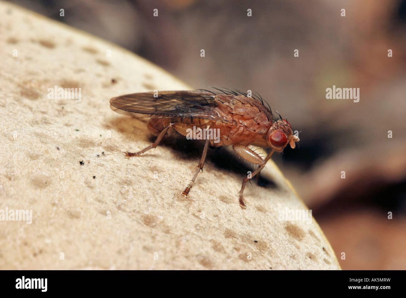 Humpbacked Fly - Stock Image