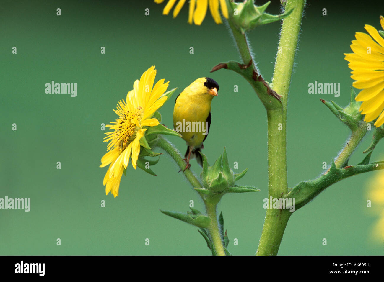 American Goldfinch Perched in Sunflowers - Stock Image