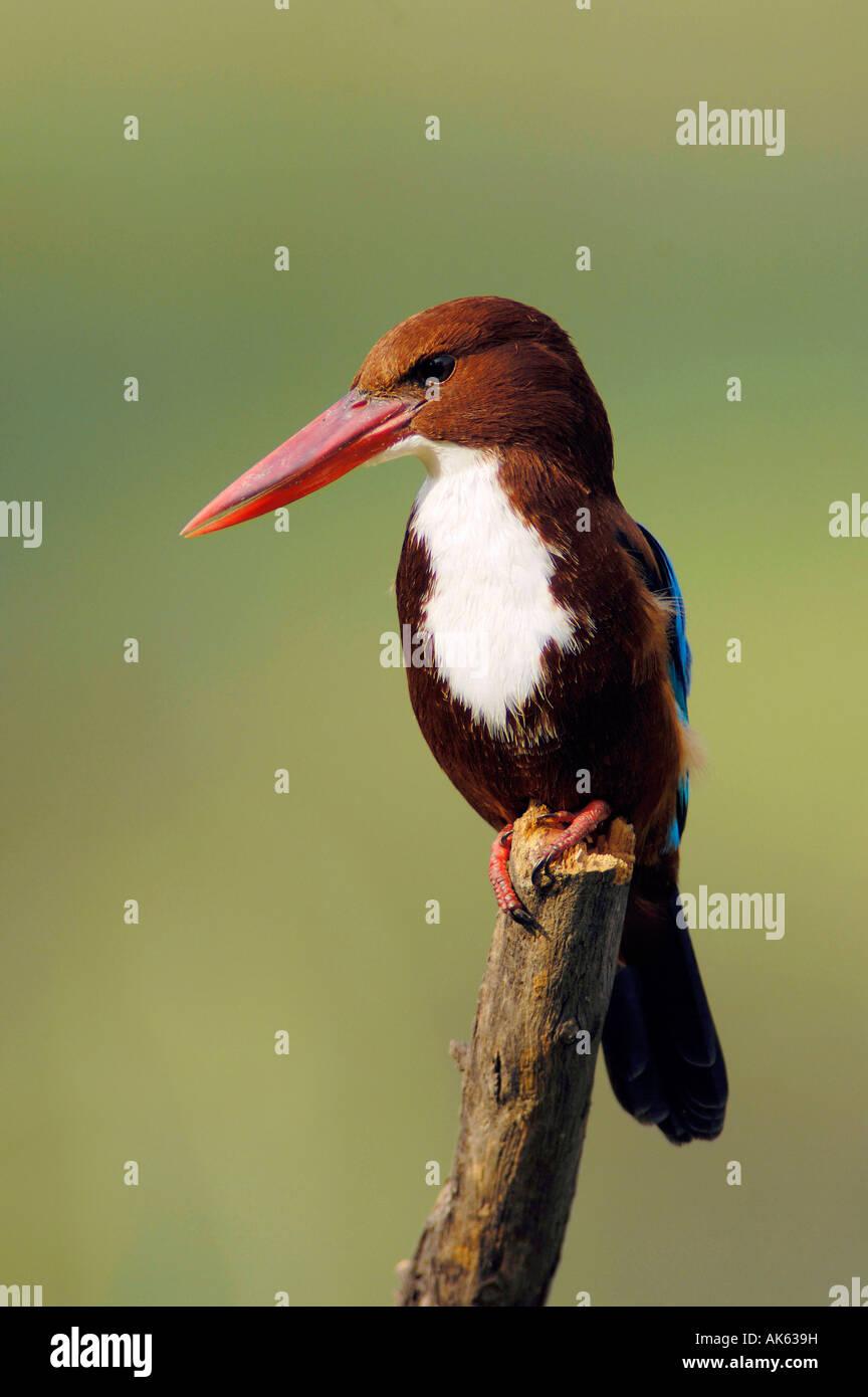 White-breasted Kingfisher - Stock Image