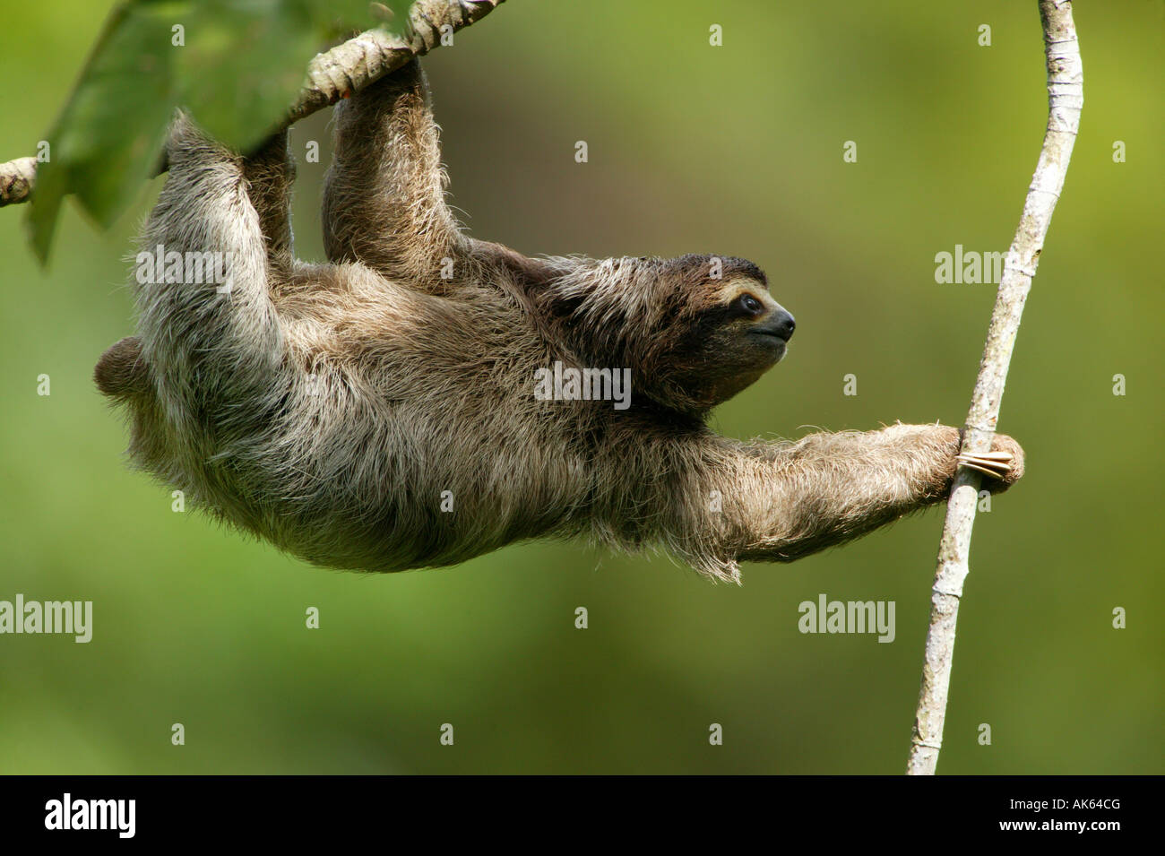 Three-toed Sloth in the 265 hectares rainforest Metropolitan park, Panama province, Republic of Panama. - Stock Image