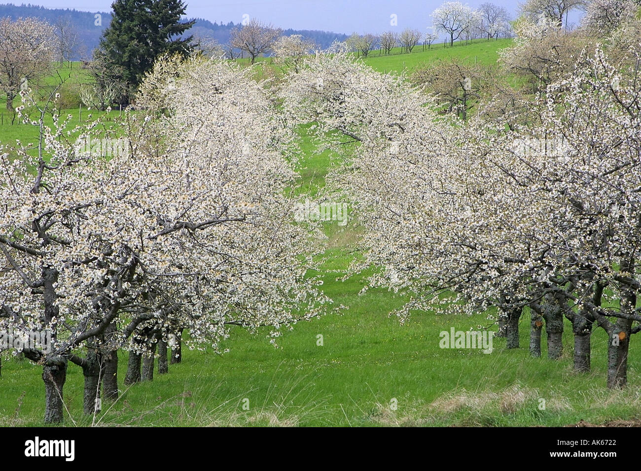 blooming apple trees apple plantage germany bluehende apfelbaeume stock photo 1271585 alamy. Black Bedroom Furniture Sets. Home Design Ideas