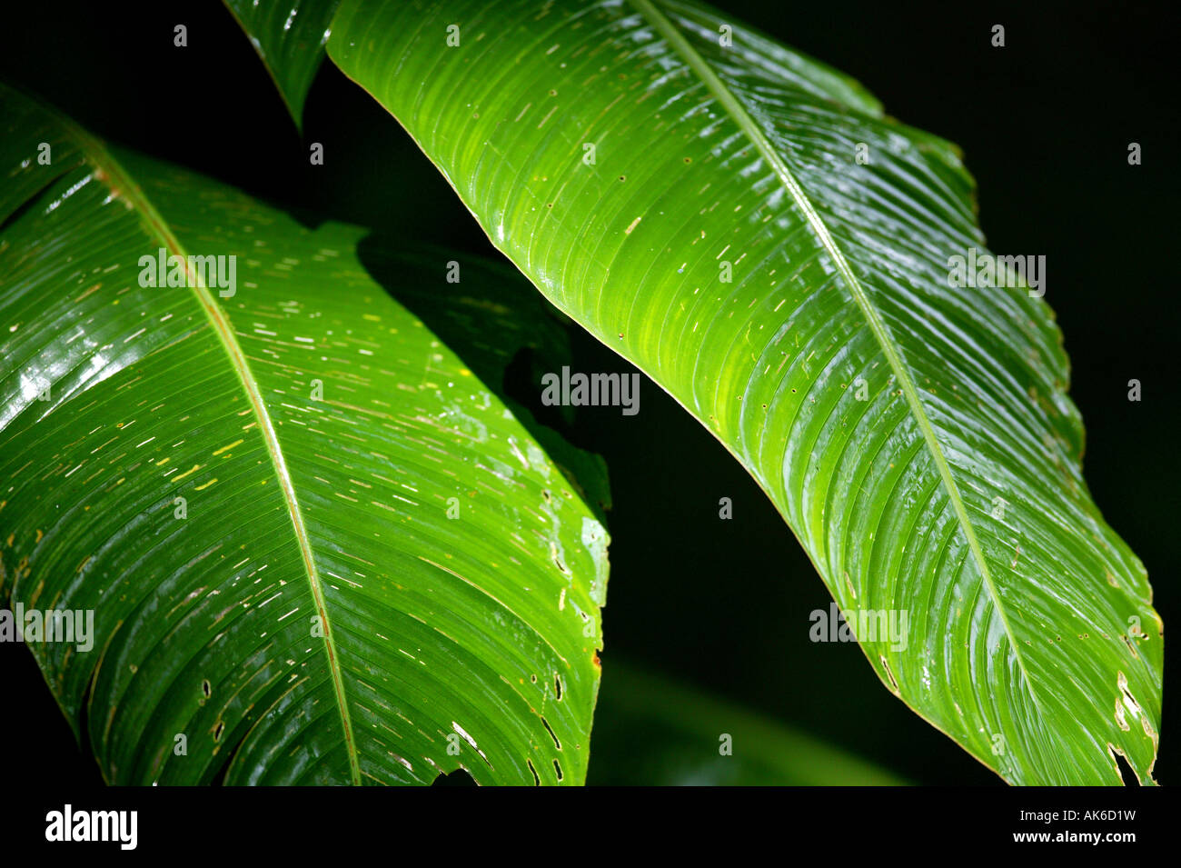 Large leaves from a Heliconia plant in the rainforest of Metropolitan park,  Republic of Panama. - Stock Image