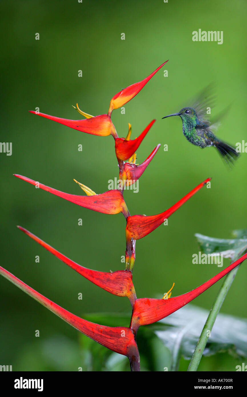 White-vented Plumeleteer feeding on red Heliconia flower in Metropolitan park near Panama city, Republic of Panama. - Stock Image