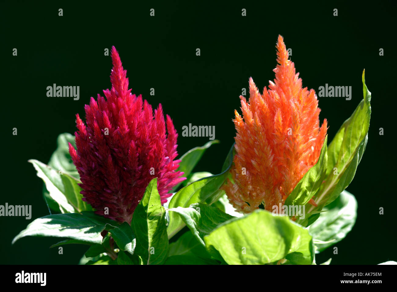 Cockscomb Stock Photo