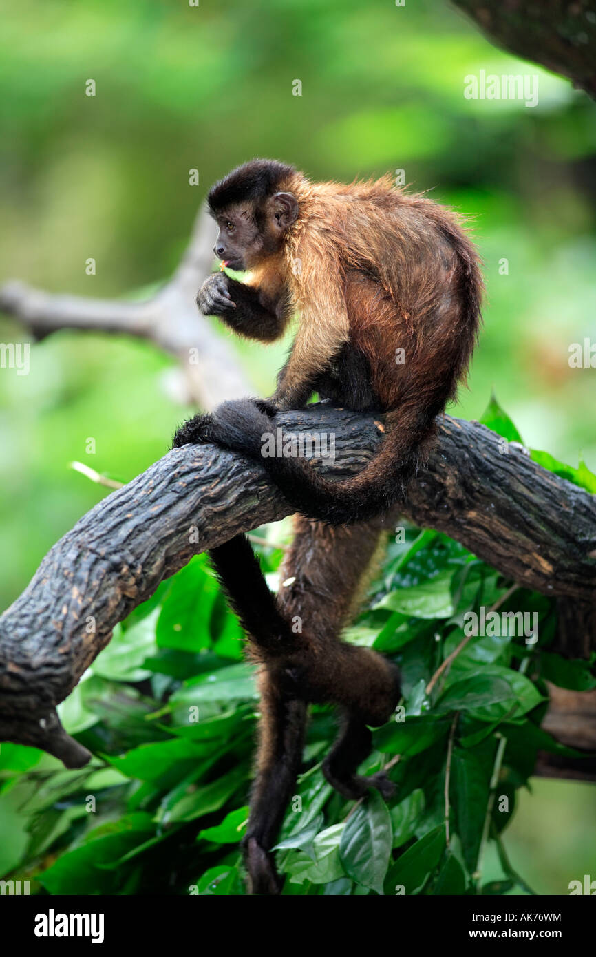 Weeper Capuchin Stock Photo