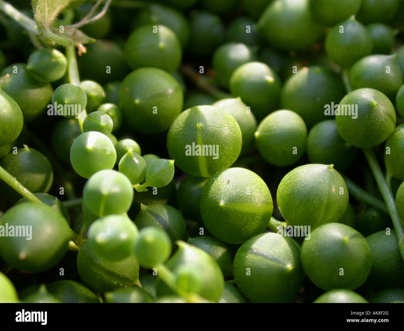 Gooseberry, String of Beads, String-of-Pearls. String-of-Marbles, String-of-Peas (Senecio rowleyanus), succulent Stock Photo