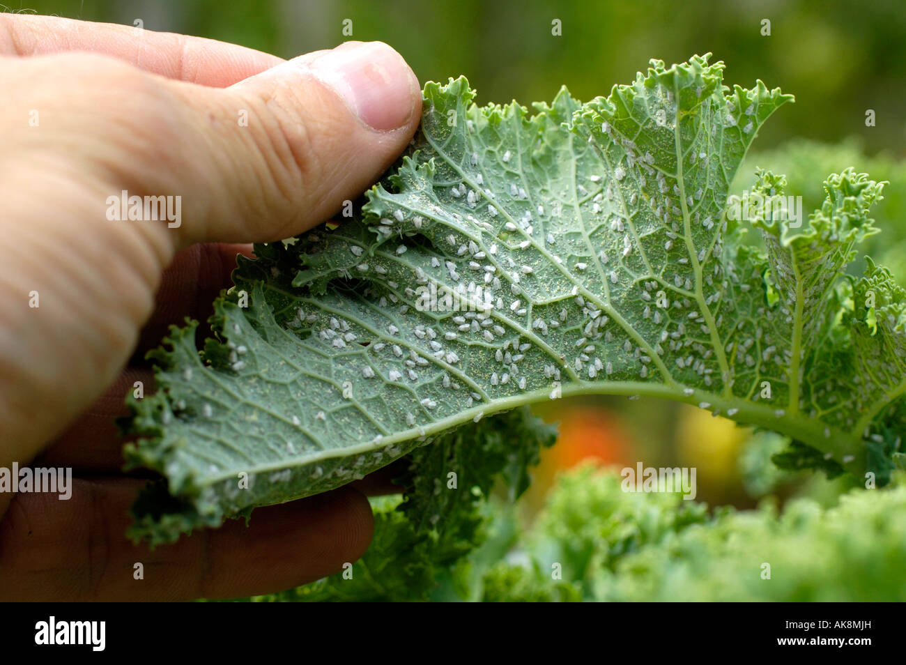 Aphids on Curly Kale Stock Photo