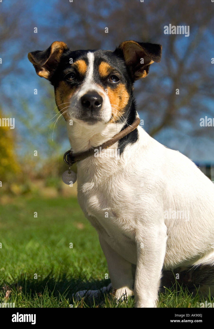 Jack Russel Dog Sitting Alert on a Grass Lawn - Stock Image