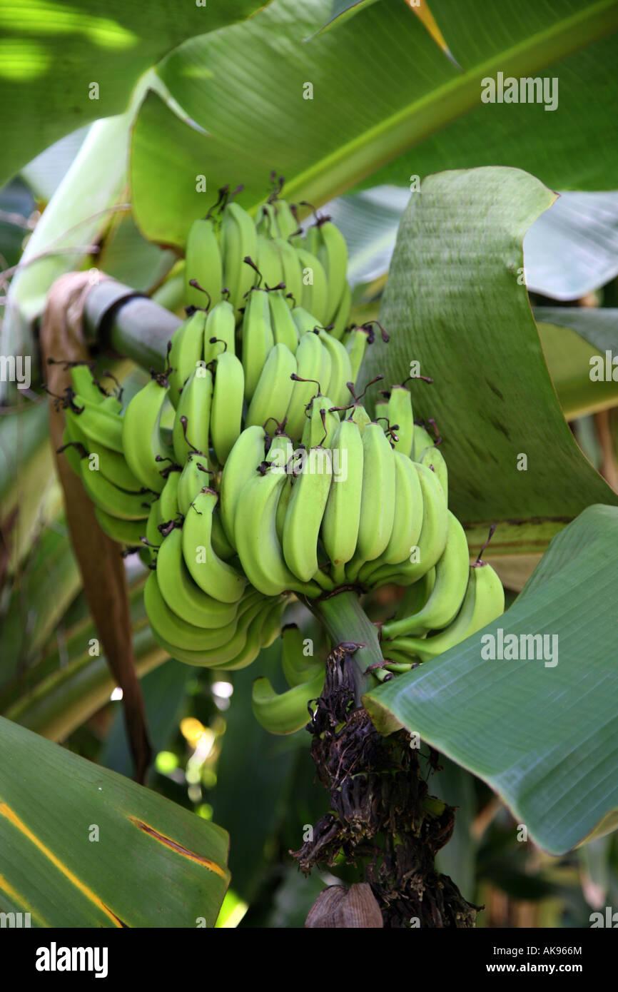 Dwarf Banana Plant growing in Florida Stock Photo: 14926315 - Alamy