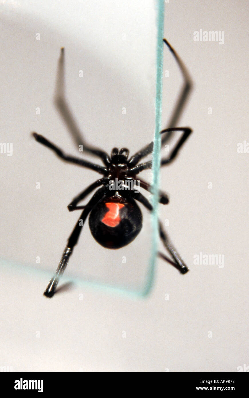 Black Widow Spider with red hourglass on stomach  climbing glass Stock Photo