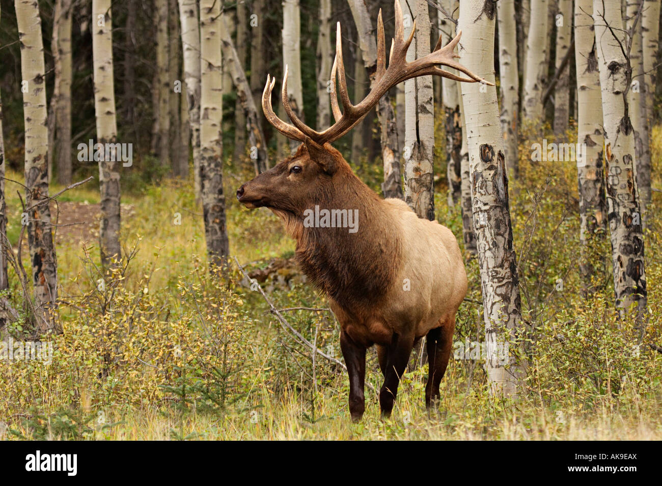 Elk Deutsch