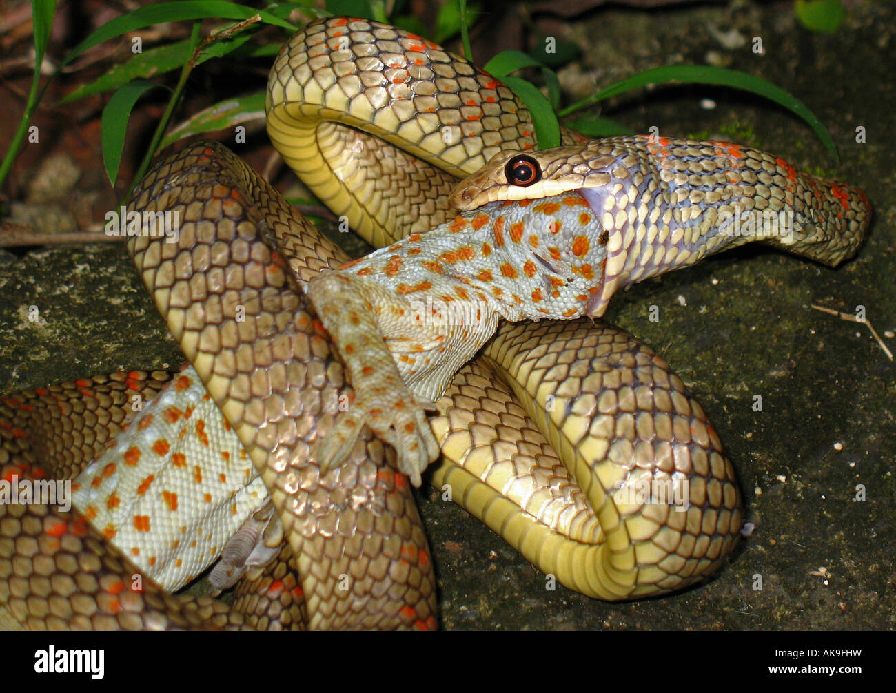 Paradise Flying Tree Snake Eating A Tokay Gecko Lizard