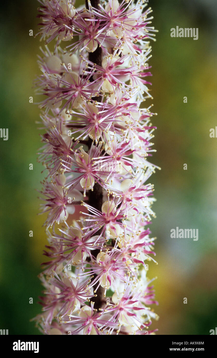 Actaea Simplex Pink Spike Syn Cimicifuga Stock Photo 14933059 Alamy