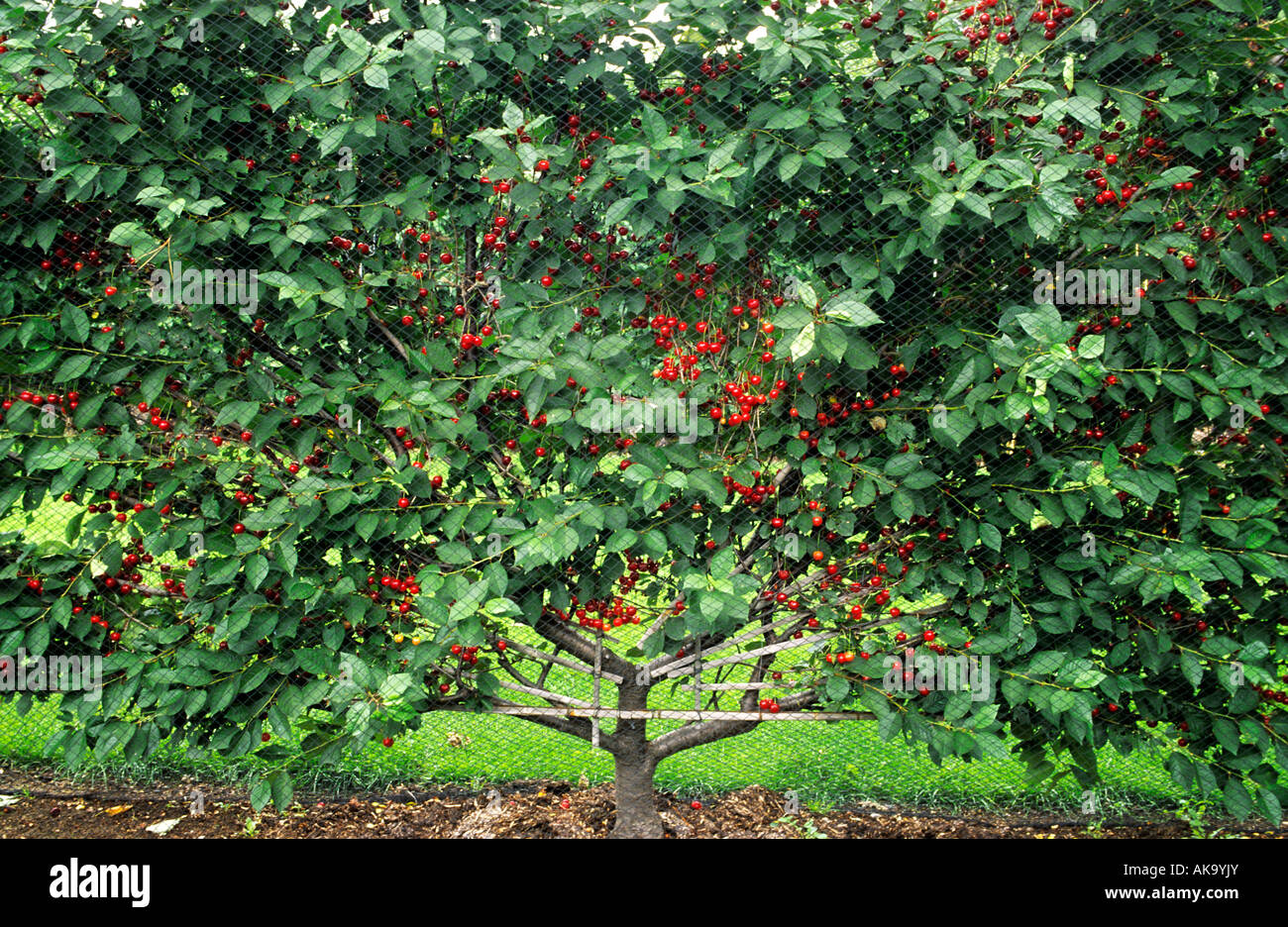 fan trained Morello cherry under mesh - Stock Image