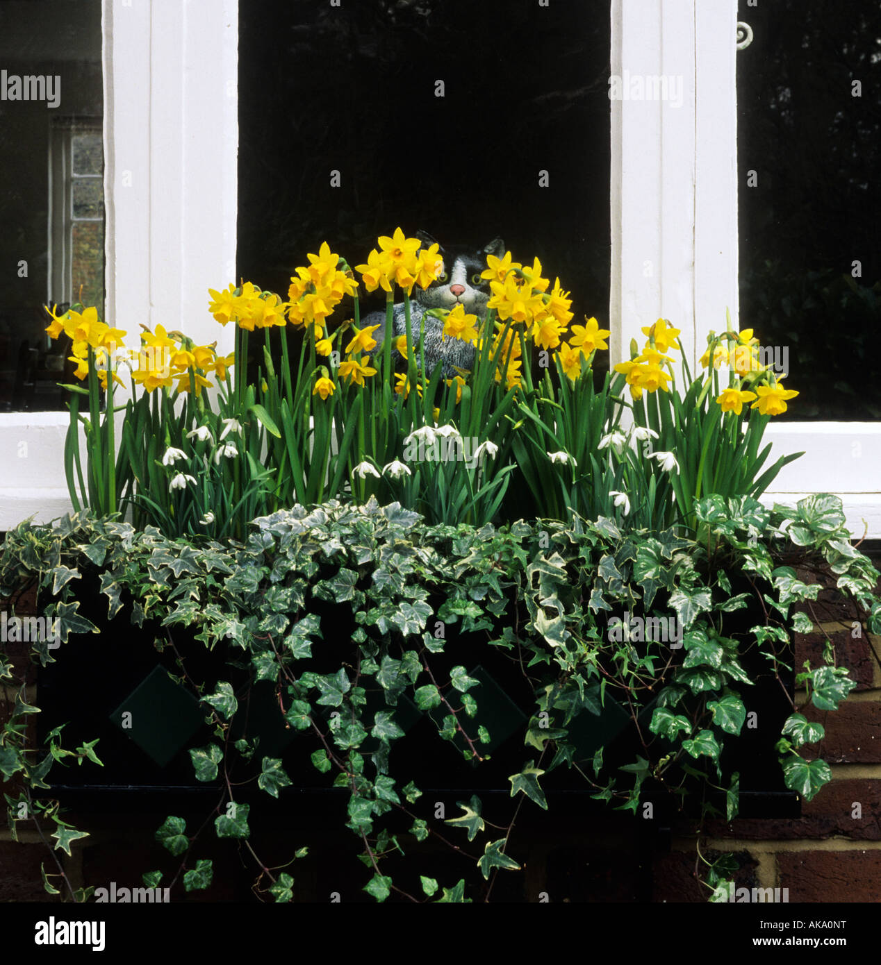 early spring flower bulbs windowbox snowdrops and Narcissus Tete a Tete - Stock Image