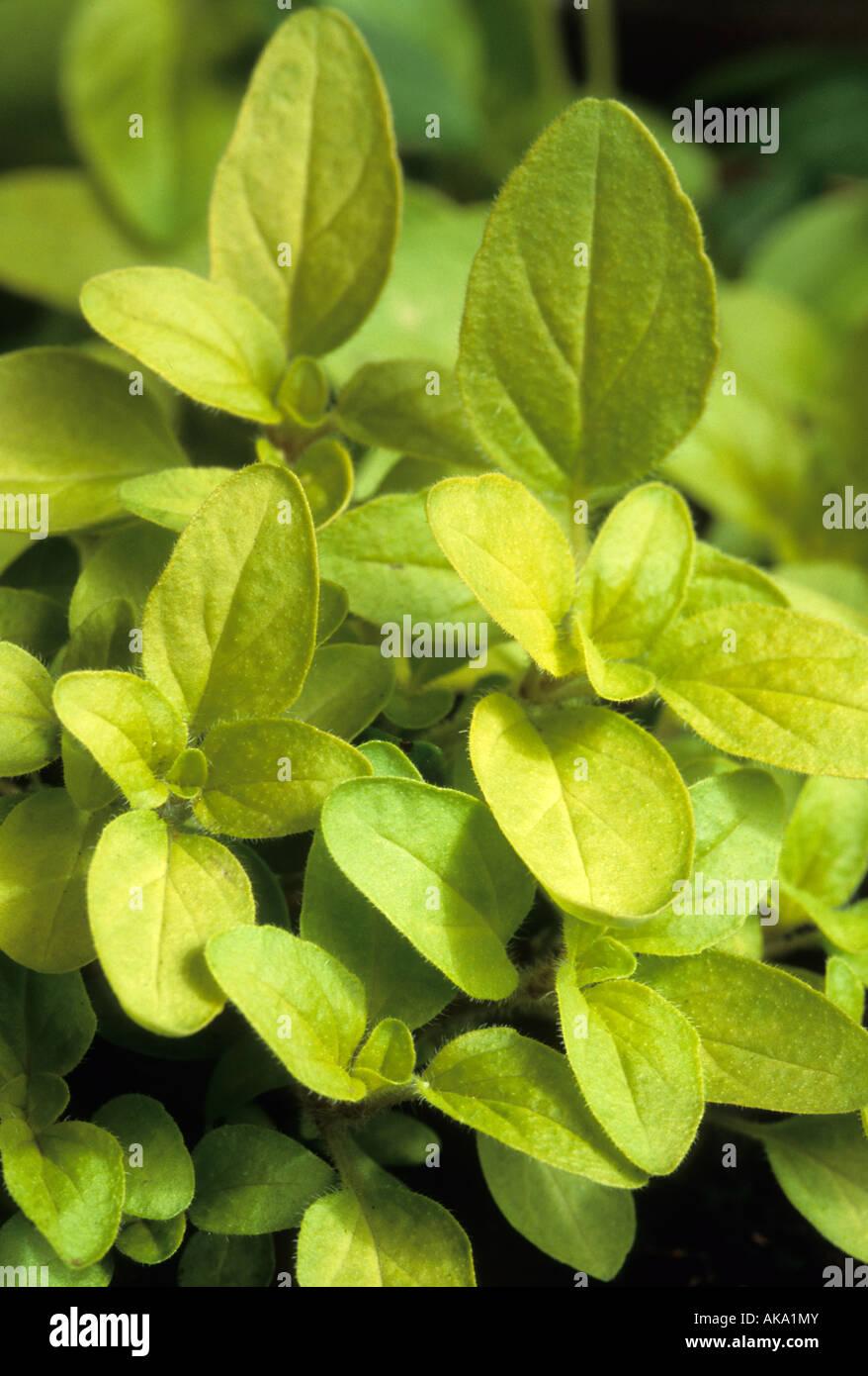 golden Marjoram Origanum onites Aurea herb Stock Photo