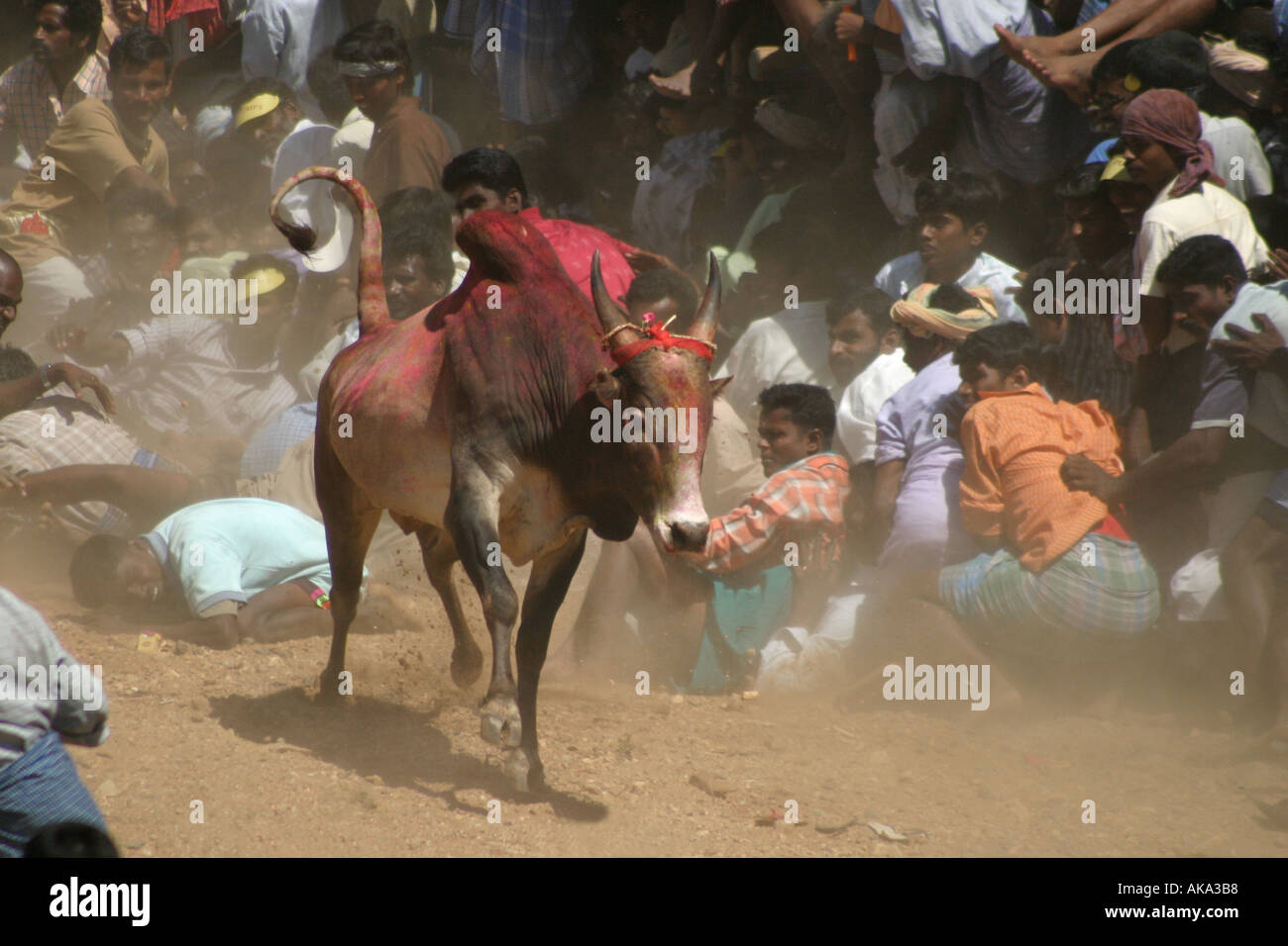 As part of the annual pongol celebrations villagers avoid a rampant bull during a bull taming festival near Madurai India - Stock Image