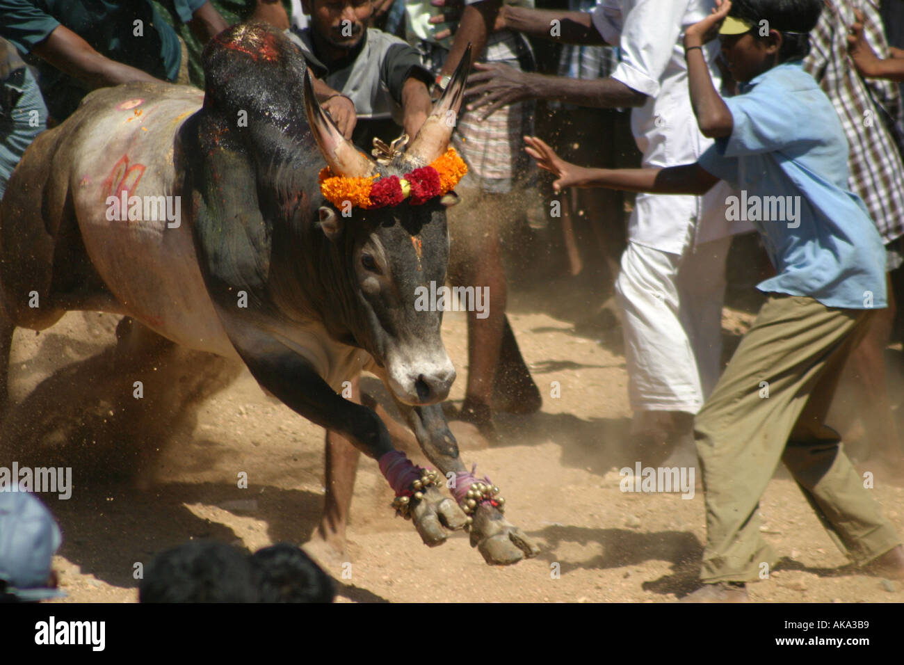As part of the annual pongol celebrations villagers try to tame a rampant bull during a bull taming festival near Madurai India - Stock Image