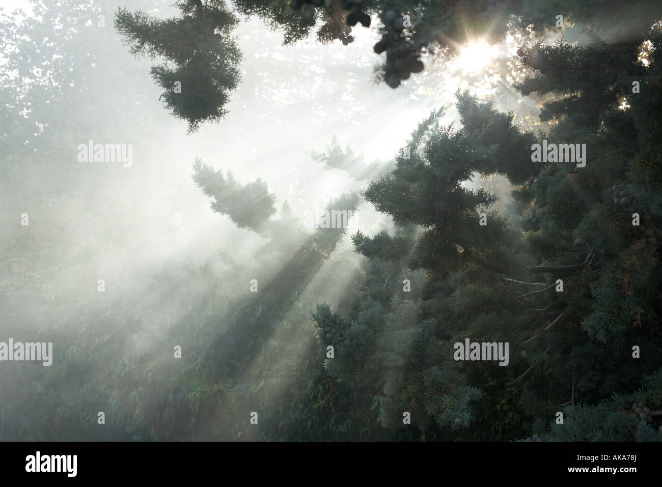 Beams of sunlight coming through tree branches - Stock Image