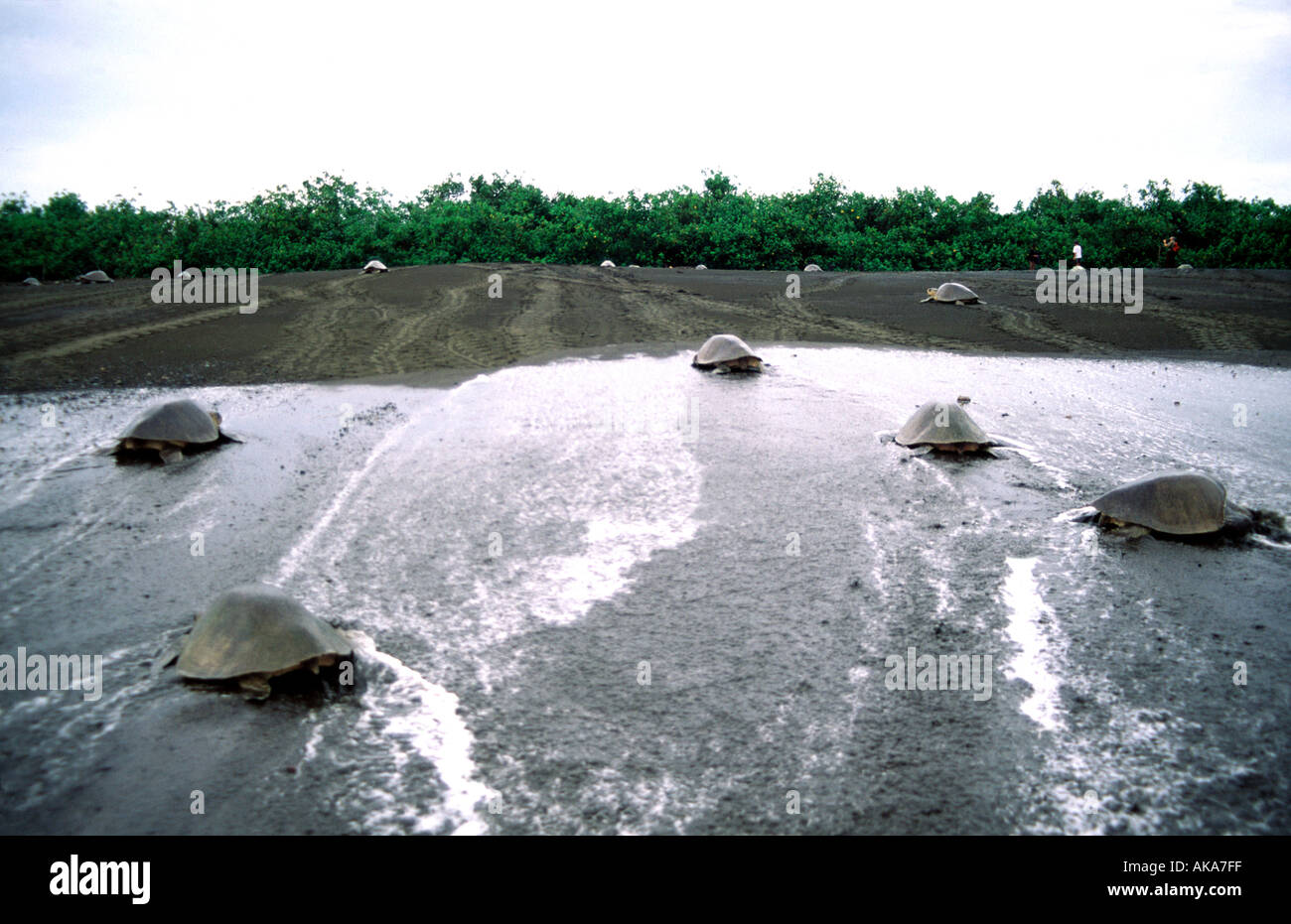 Olive Ridley turtles coming out to spawn. Ostional beach National Refuge. Costa Rica - Stock Image