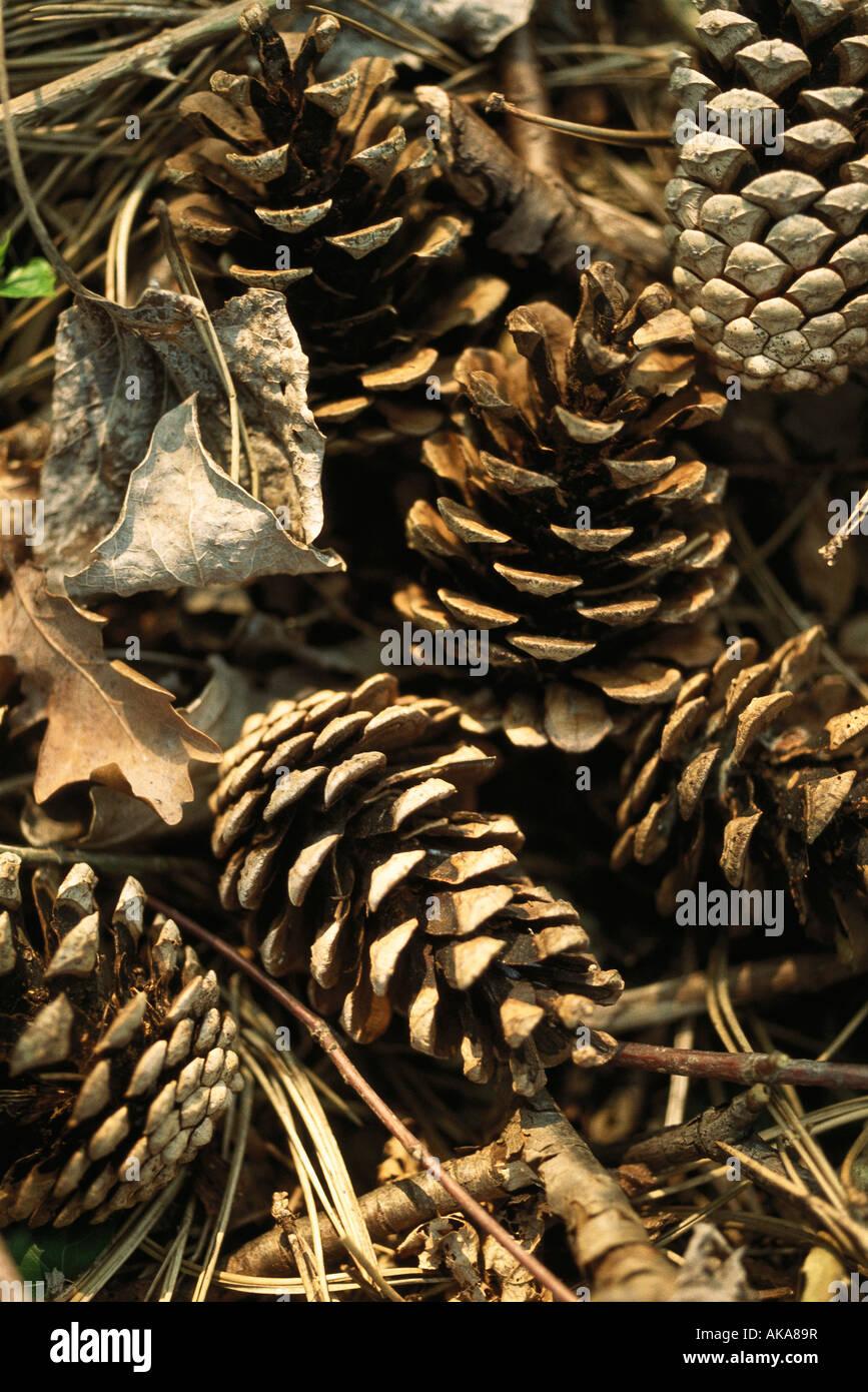 Pine cones, full frame - Stock Image