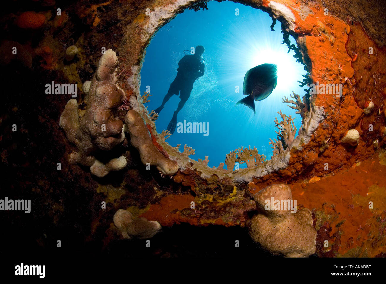 Male scuba diver is viewed through the underwater porthole of the HMS Endymion shipwreck.. - Stock Image