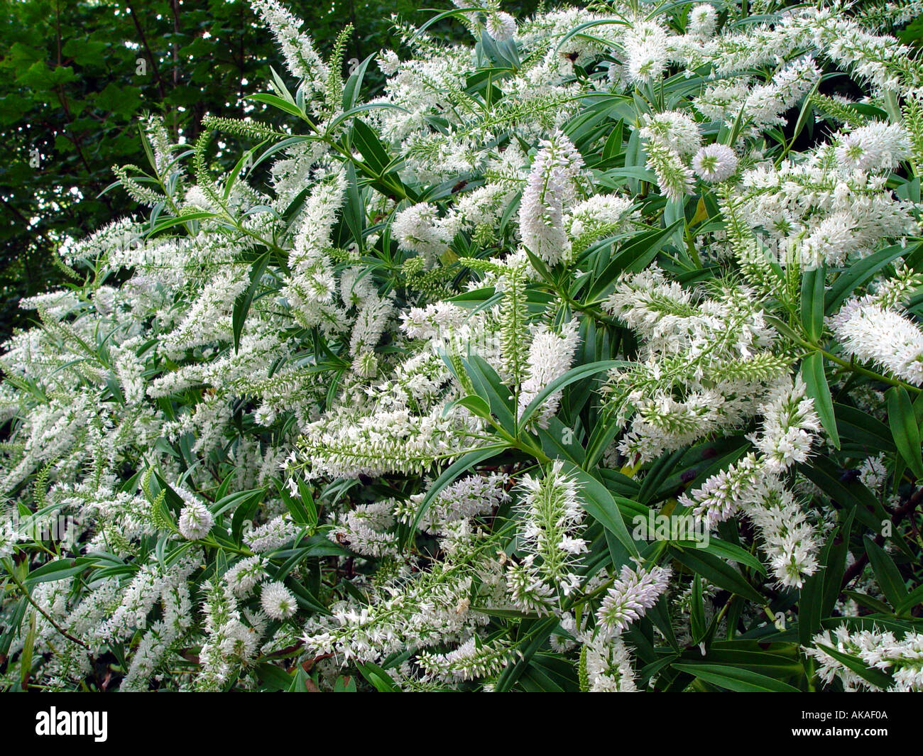 Hebe Salicifolia White Flowering Evergreen Stock Photos Hebe