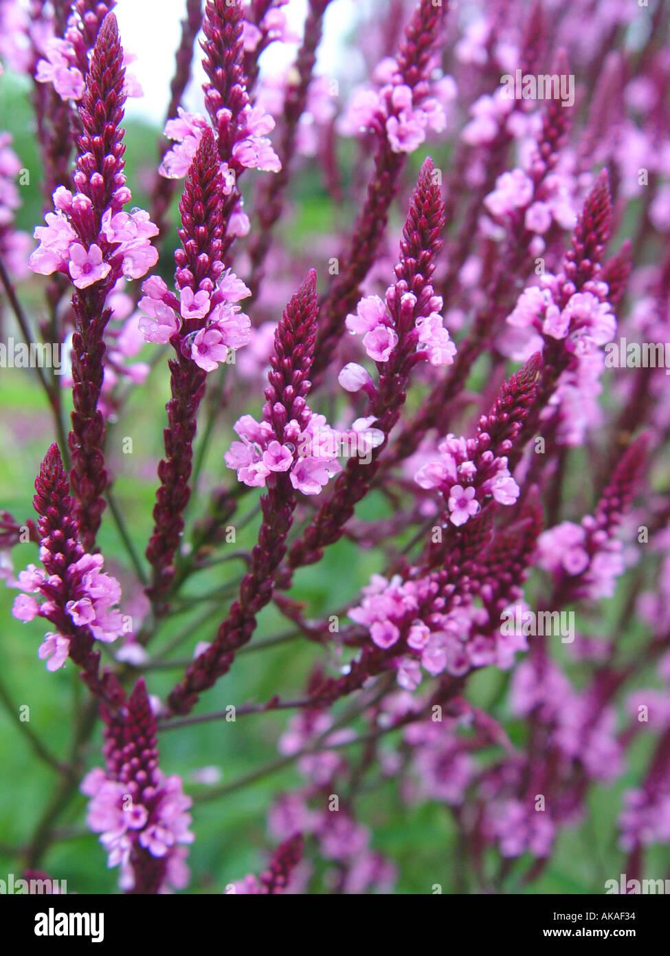 Verbena Hardy perennial biennial garden border plant - Stock Image