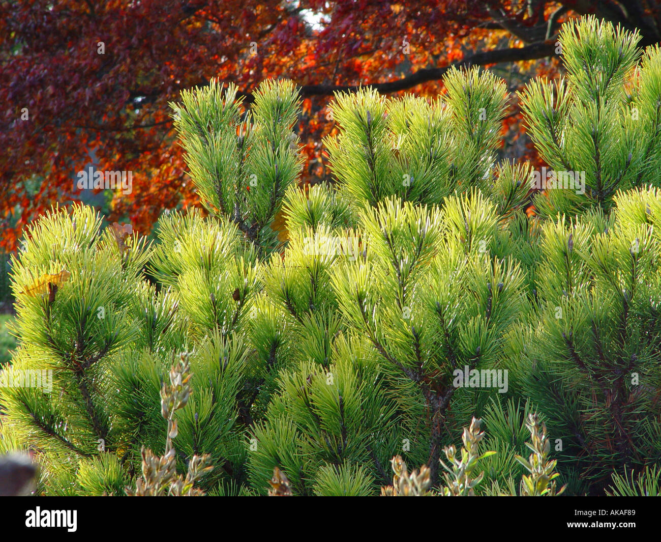 Pinus mugo Ophir with autumn tinted acer in background - Stock Image