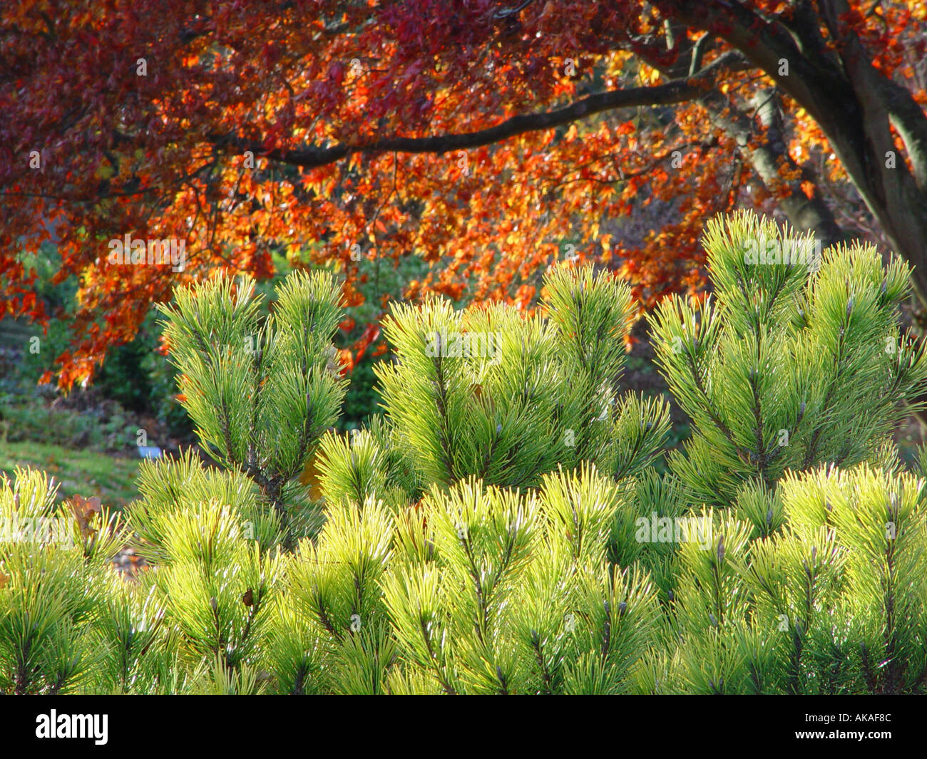 Pinus mugo Ophir with autumn tinted japanese acer in background - Stock Image