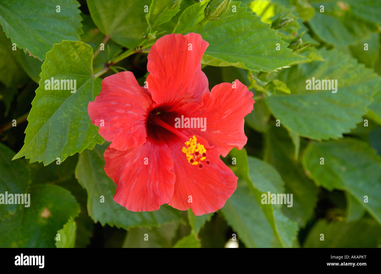 red hibiscus flower growing on the mediterranean island of cyprus eu stock photo 14941259 alamy. Black Bedroom Furniture Sets. Home Design Ideas