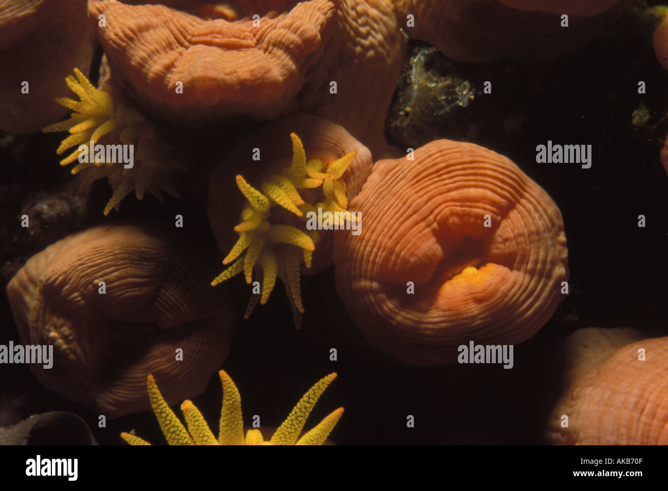 Orange cup coral of the Pacific ocean in Truk Lagoon has a corrugated texture with plump golden and yellow polyps - Stock Image