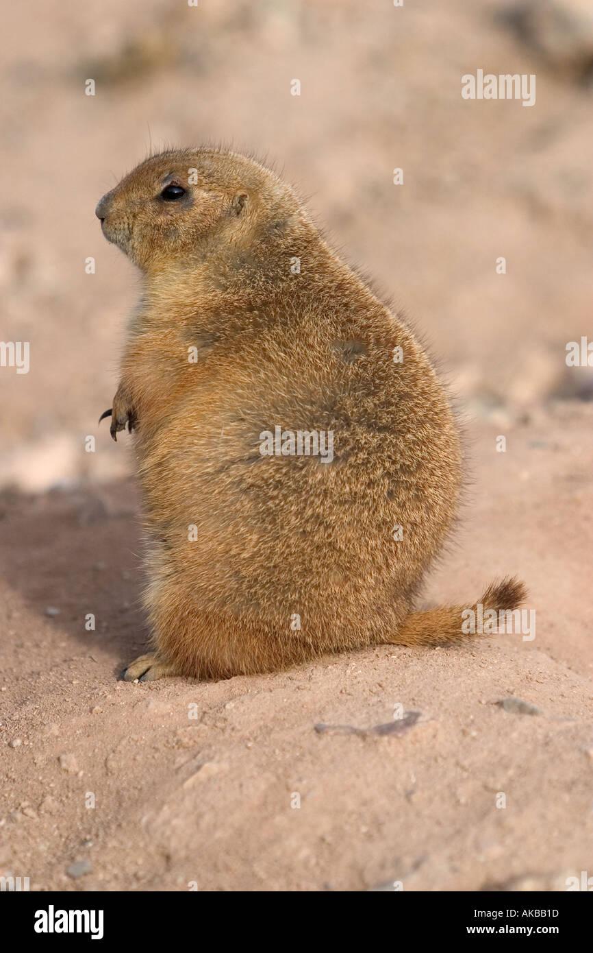 Prairie Dog Genus Cynomys Arizona USA - Stock Image